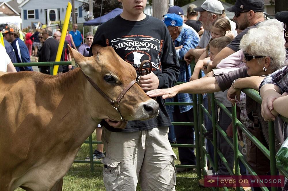 Lady petting a cow at the Harrow Fair