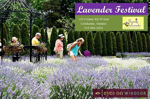 Lavender Festival at Serenity Lavender Farms