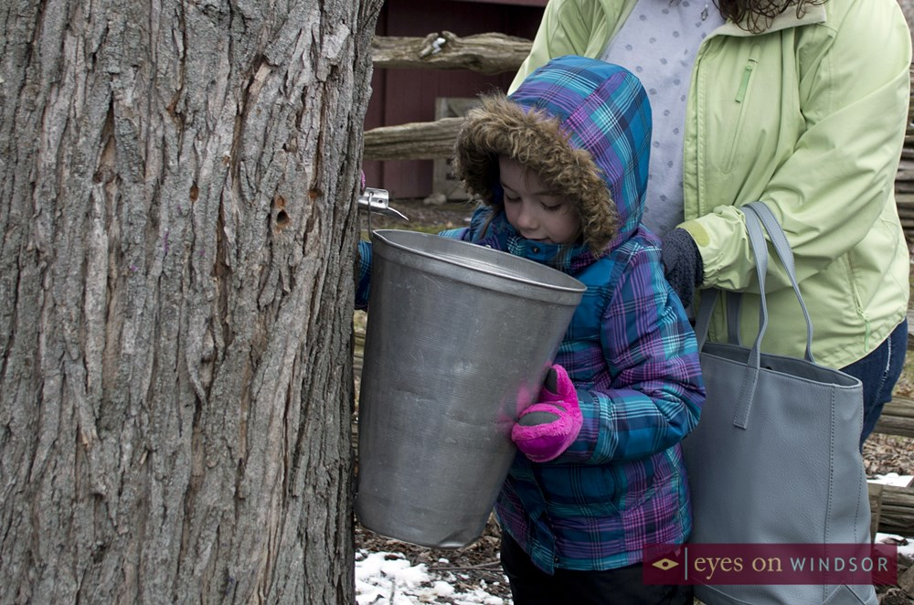 Dellah Bedal looks into maple syrup collection bucket.