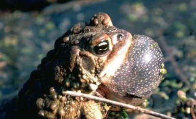 Toad at Point Pelee National Park