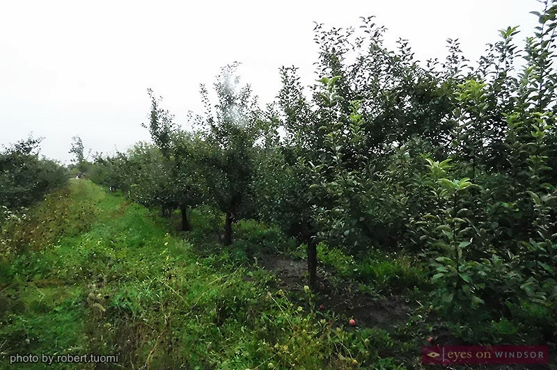 Apple trees at Wagner Orchards.