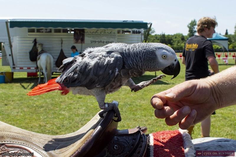 Kongo the Parrot