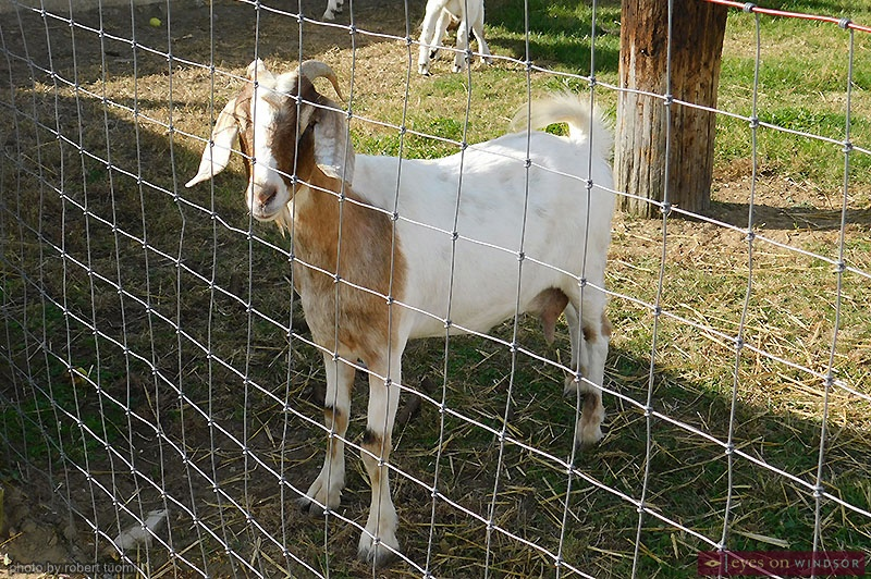 goat at farmer Pete's farm at Thiessen Orchards