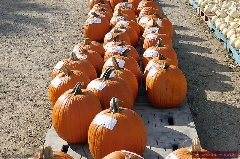 Pumpkins at Theissen Orchards