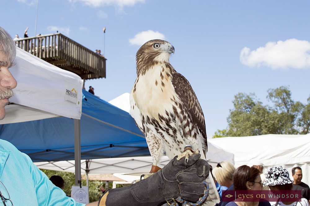 Man Holds Hawk at Holiday Beach During The Festival of Hawks