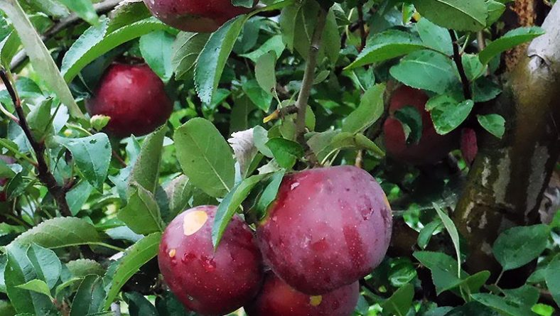 Apple Picking Season at Wagner Orchards & Estate Winery Has Begun