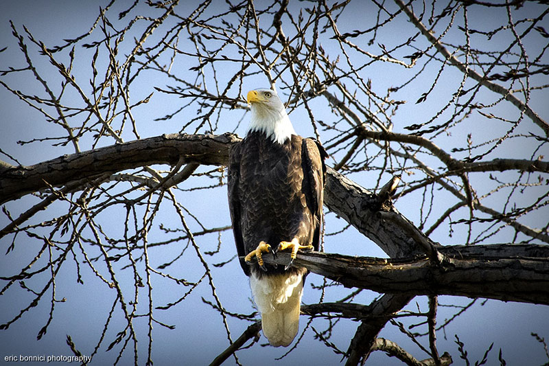 Bald Eagle sitting in a tree in Windsor, Ontario / Riverside