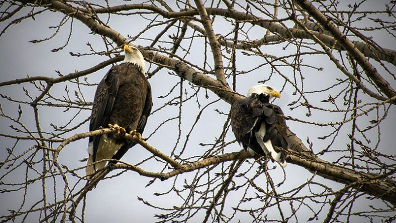 Pair of Bald Eagles in Windsor's Riverside Neighbourhood To Be Named